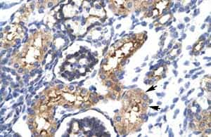 Immunohistochemistry (Formalin/PFA-fixed paraffin-embedded sections) - Anti-EHF antibody (ab24337)
