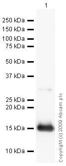 Western blot - TBC1D4 antibody (ab24469)