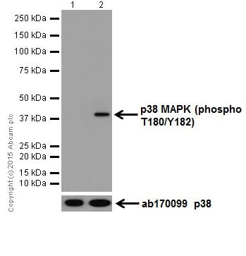 Western blot - Anti-p38 (phospho T180) antibody [EPR18120] - BSA and Azide free (ab240335)