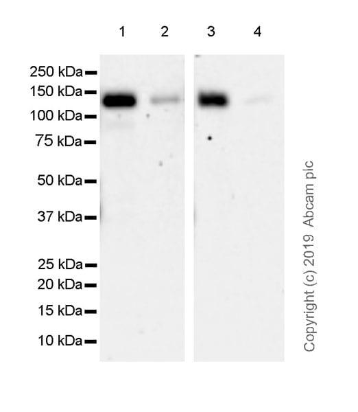 Western blot - Anti-Ctip2 antibody [EPR23120-25] (ab240636)