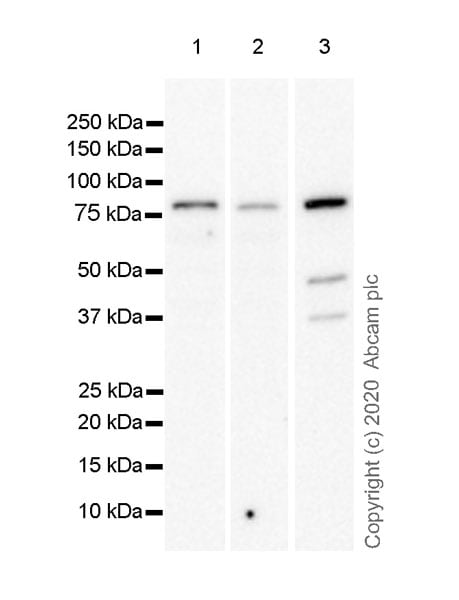 Western blot - Anti-FOXP4 antibody [EPR22714-2] (ab242127)