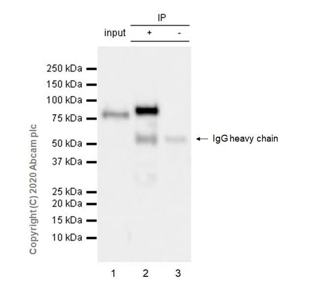 Immunoprecipitation - Anti-FOXP4 antibody [EPR22714-2] (ab242127)