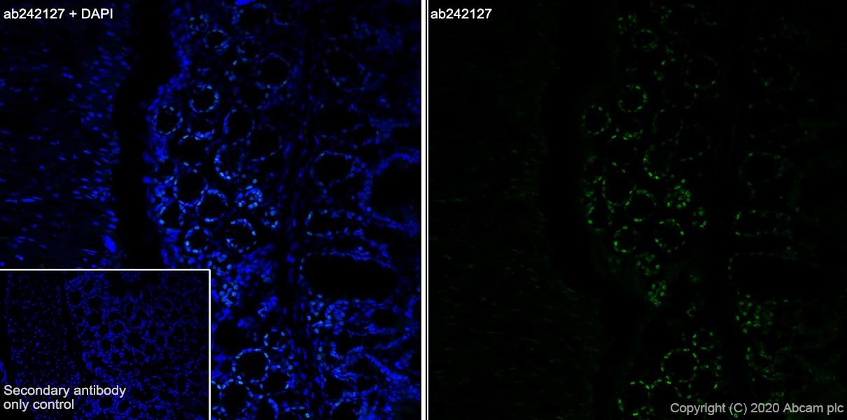 Immunohistochemistry (Frozen sections) - Anti-FOXP4 antibody [EPR22714-2] (ab242127)