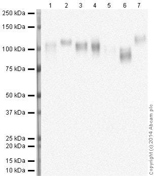 Western blot - Anti-LAMP2 antibody [H4B4] - Lysosome Marker (ab25631)