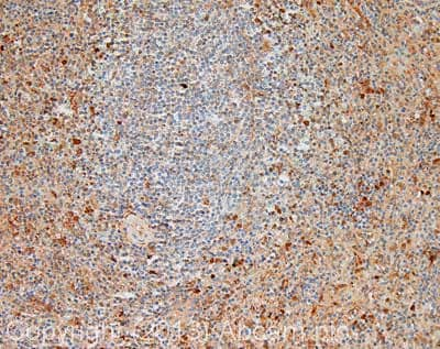 Immunohistochemistry (Formalin/PFA-fixed paraffin-embedded sections) - Anti-Caspase-8 antibody (ab25901)