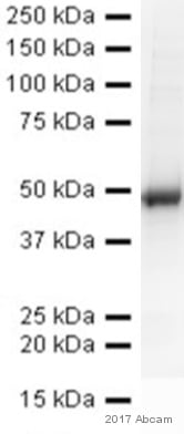 Western blot - Anti-IRF3 antibody (ab25950)