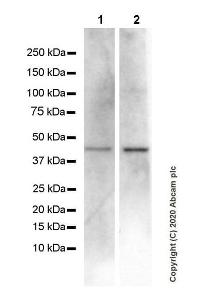 Western blot - Anti-CXCR5 antibody [EPR23463-30] (ab254415)