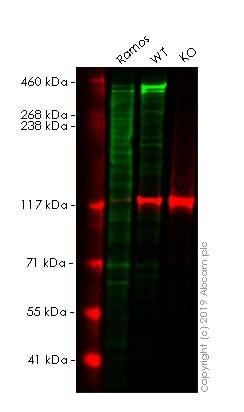 Western blot - Human MKI67 knockout HeLa cell line (ab255407)