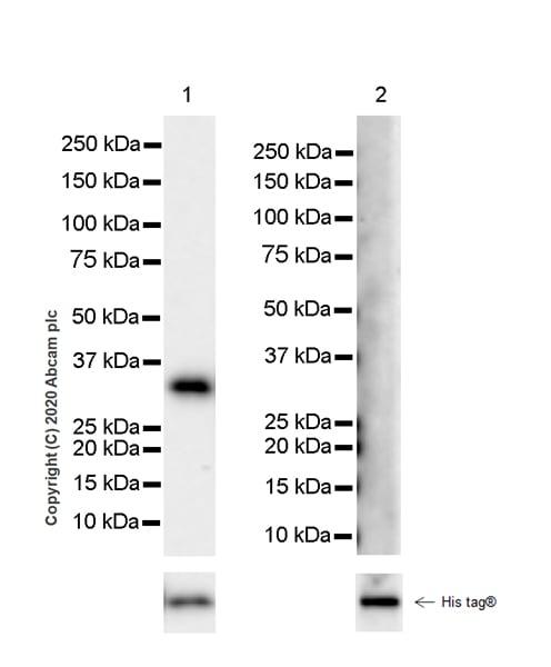 Western blot - Anti-ING5 antibody [EPR23930-1] (ab259904)