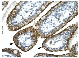 Immunohistochemistry (Formalin/PFA-fixed paraffin-embedded sections) - Anti-GABA A receptor pi antibody (ab26055)