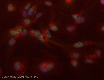 Immunocytochemistry/ Immunofluorescence - IRF1 antibody (ab26109)