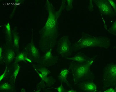 Immunocytochemistry/ Immunofluorescence - Anti-Hey L antibody (ab26138)