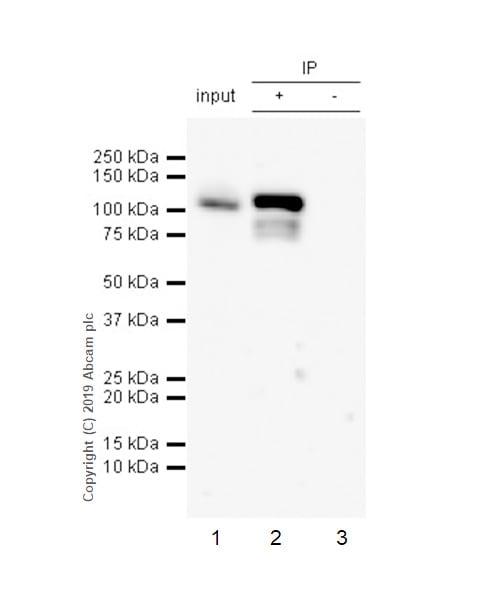 Immunoprecipitation - Anti-STAT6 (phospho Y641) antibody [EPR22599-78] (ab263947)