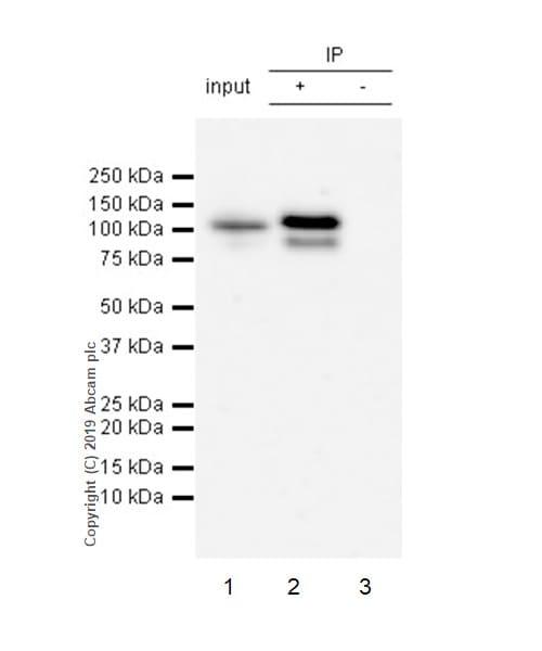 Immunoprecipitation - Anti-STAT6 (phospho Y641) antibody [EPR22599-52] - BSA and Azide free (ab263949)