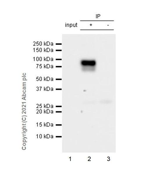 Immunoprecipitation - Anti-STAT3 (phospho Y705) antibody [EPR23968-52] (ab267373)