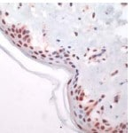 Immunohistochemistry (Formalin/PFA-fixed paraffin-embedded sections) - Anti-c-Fos antibody, prediluted (ab27436)