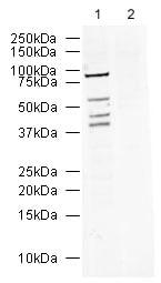 Western blot - Anti-R2D2 antibody (ab27650)