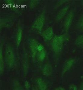 Immunocytochemistry/ Immunofluorescence - Low Density LRP antibody [5A6] (ab28320)