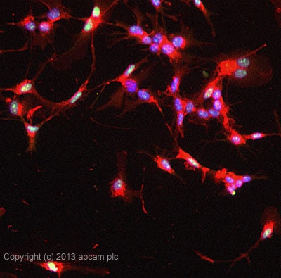 Immunocytochemistry/ Immunofluorescence - Anti-IRF8 antibody (ab28696)