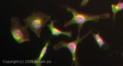 Immunocytochemistry/ Immunofluorescence-GSK3 alpha (phospho S21) antibody(ab28808)