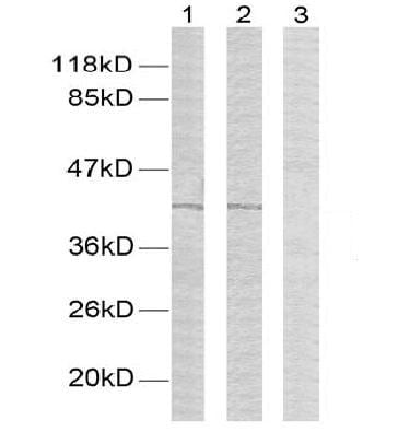 Western blot - Anti-GATA1 (phospho S142) antibody (ab28816)