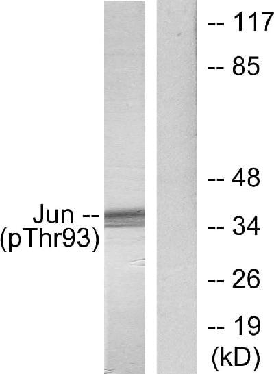 Western blot - Anti-c-Jun (phospho T93) antibody (ab28854)
