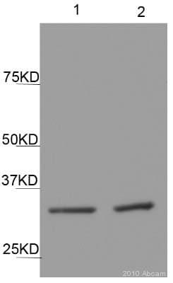 Western blot - Cyclin D2 antibody [DCS-3.1] (ab3085)