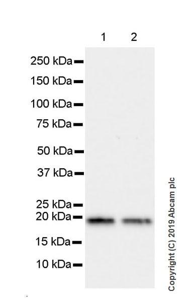 Western blot - Anti-Bax antibody [5B7] (ab3191)