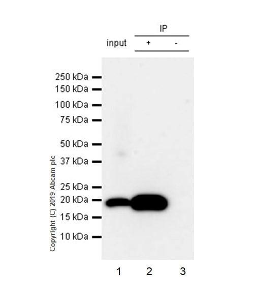 Immunoprecipitation - Anti-Bax antibody [5B7] (ab3191)