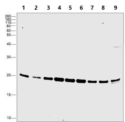 Western blot - Anti-Proteasome 20S beta 6 antibody (ab3331)