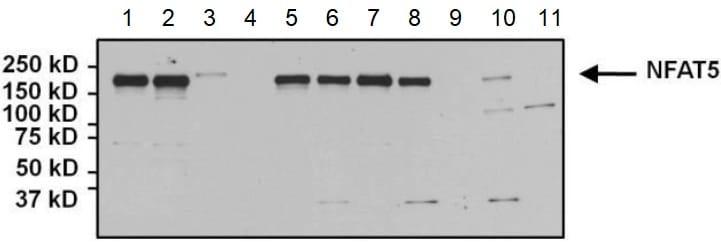 Western blot - Anti-NFAT5 antibody (ab3446)