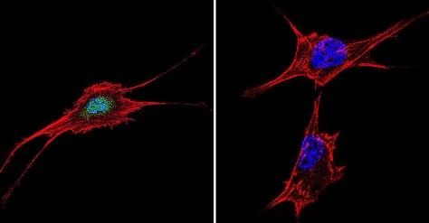 Immunocytochemistry - Anti-NFAT5 antibody (ab3446)