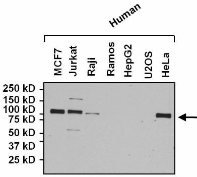 Western blot - Anti-NFATC4 antibody (ab3447)