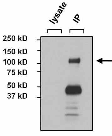 Immunoprecipitation - Anti-NFATC4 antibody (ab3447)