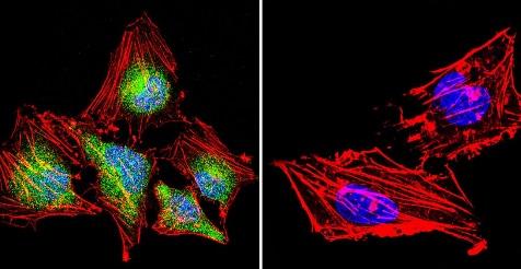 Immunocytochemistry/ Immunofluorescence - Anti-NFATC4 antibody (ab3447)