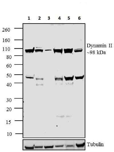 Western blot - Anti-Dynamin 2 antibody (ab3457)