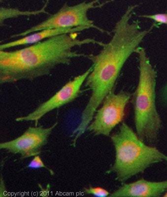 Immunocytochemistry - Anti-Adenosine Receptor A2a antibody (ab3461)