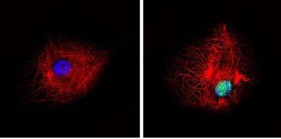 Immunocytochemistry/ Immunofluorescence - Anti-PPAR alpha (phospho S12) antibody (ab3484)
