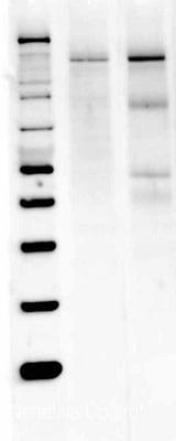 Western blot - Anti-nNOS (neuronal) antibody (ab3511)