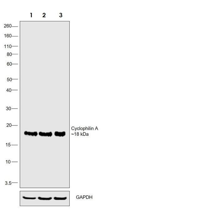 Western blot - Anti-Cyclophilin A antibody (ab3563)
