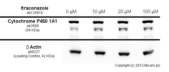 Western blot - Anti-Cytochrome P450 1A1 antibody (ab3568)