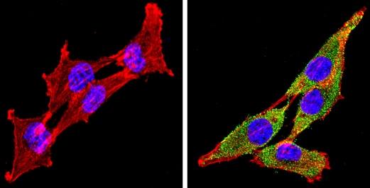 Immunocytochemistry/ Immunofluorescence - Anti-Cytochrome P450 4A/CYP4A11 antibody (ab3573)