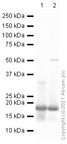 Western blot - Anti-Histone H3 (di methyl K79) antibody - ChIP Grade (ab3594)