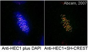 Immunocytochemistry/ Immunofluorescence - Anti-HEC1/HEC antibody [9G3] (ab3613)