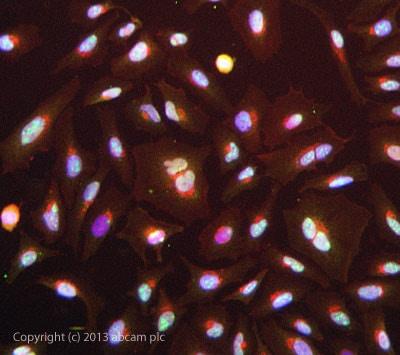 Immunocytochemistry/ Immunofluorescence - Anti-CDKN2A/p14ARF antibody (ab3642)