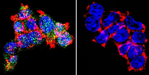 Immunocytochemistry/ Immunofluorescence - Anti-Glucocorticoid Receptor antibody - ChIP Grade (ab3671)