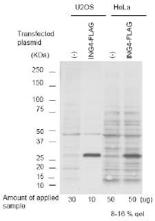 Western blot - Anti-ING4 antibody (ab3714)