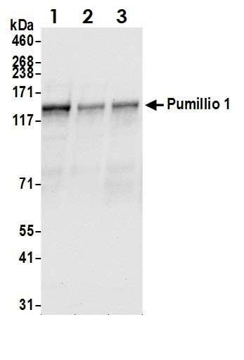 Western blot - Anti-Pumilio 1 antibody (ab3717)