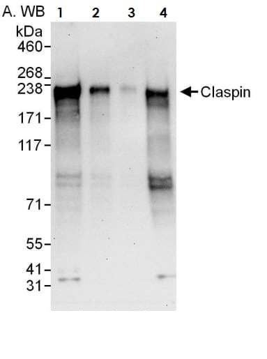Western blot - Anti-Claspin antibody (ab3721)