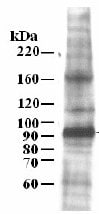 Western blot - Anti-MCM7 antibody (ab3732)
